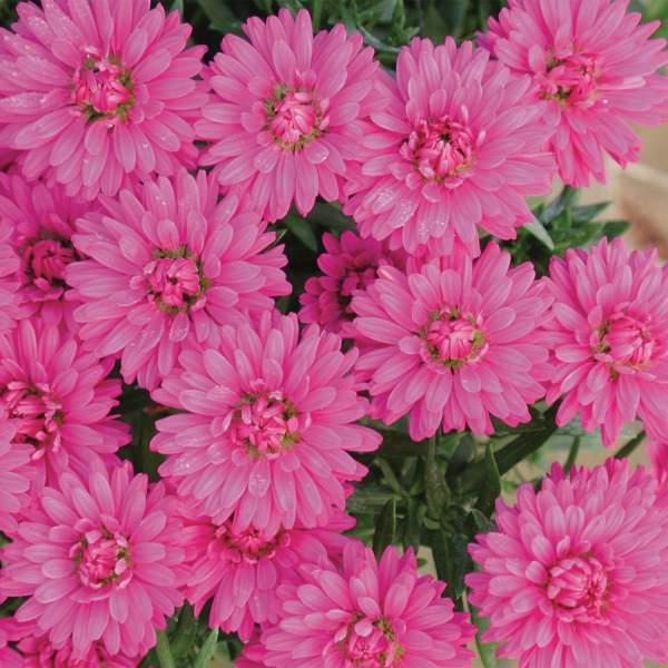 Image Of Aster Marie III Dark Pink