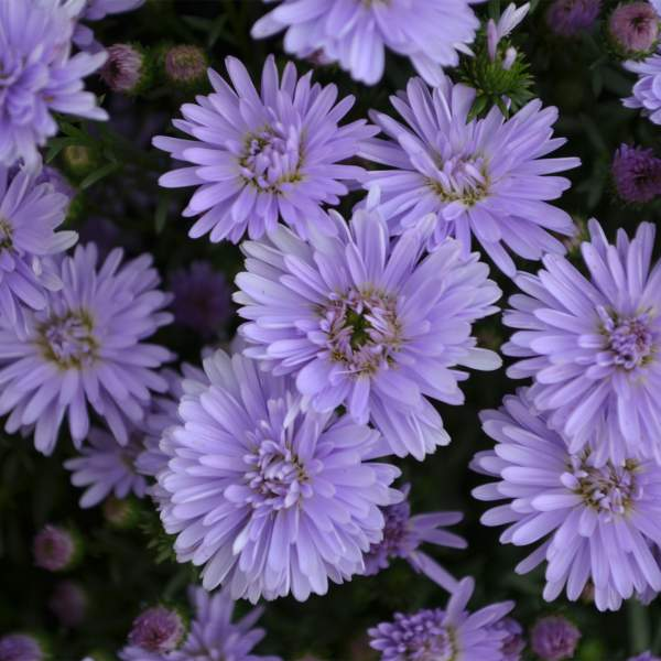 Aster Peter III Blue - Rooted Cutting Liner