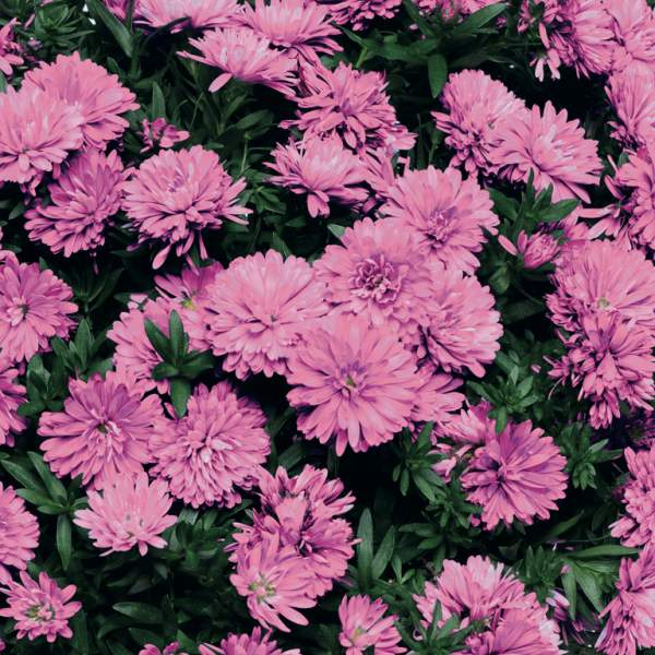 Aster Henry I Pink - Rooted Cutting Liner