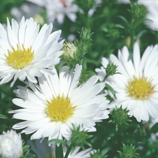 Aster Puff White - Rooted Cutting Liner