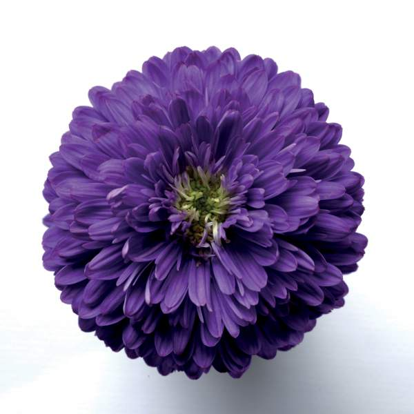 Image Of Aster Henry I Purple