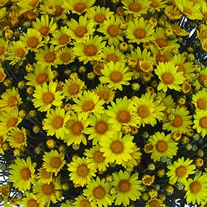 Belgian Mum Atlantico Yellow - Rooted Cutting Liner