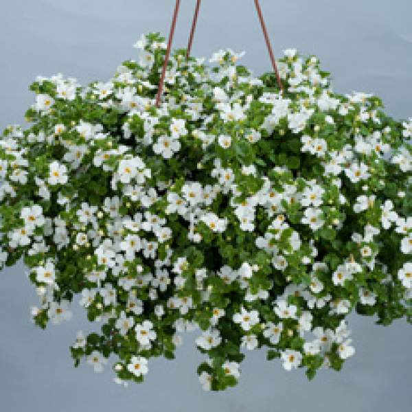Bacopa Compact White - Rooted Cutting Liner