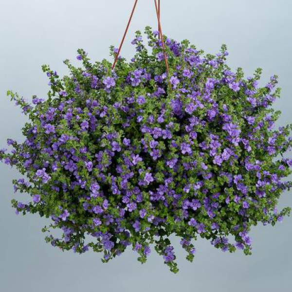 Bacopa Double Indigo - Rooted Cutting Liner