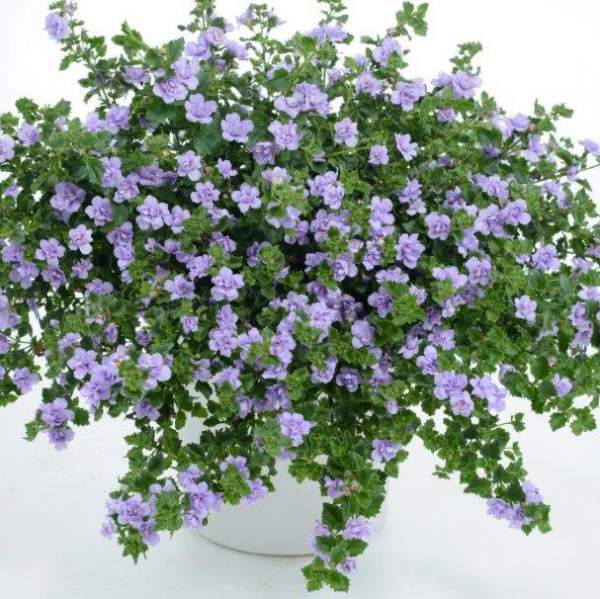 Bacopa Double Lavender - Rooted Cutting Liner
