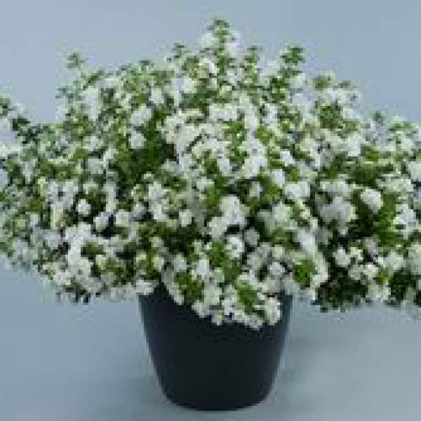 Bacopa Double Snowball - Rooted Cutting Liner