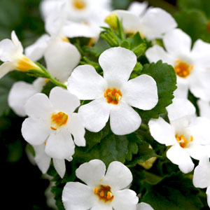 Bacopa Sutera Epic White - Rooted Cutting Liner