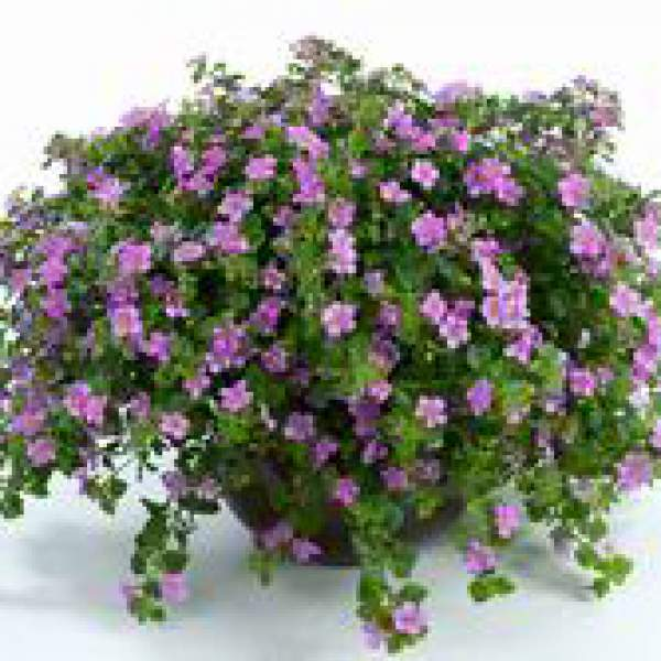 Bacopa Great Pink Classic - Rooted Cutting Liner