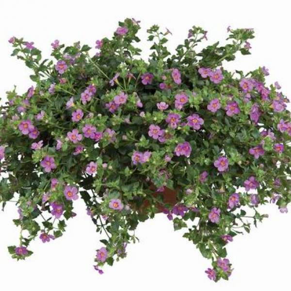 Bacopa Great Pink Beauty - Rooted Cutting Liner