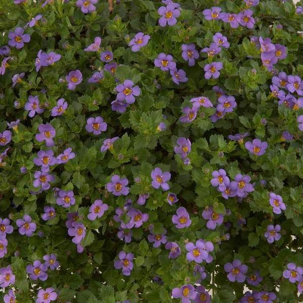 Bacopa Great Regal Blue - Rooted Cutting Liner