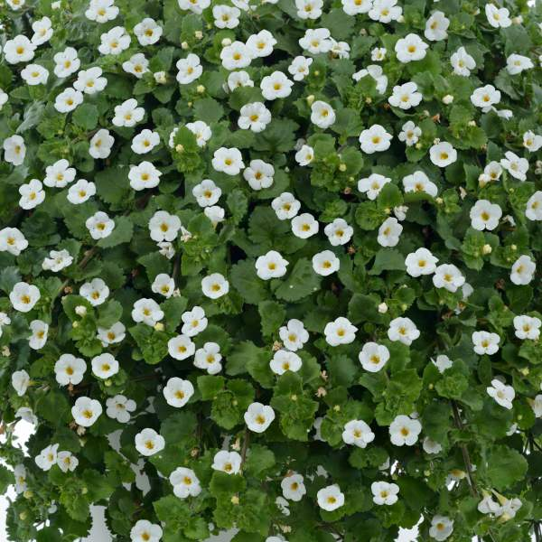 Bacopa Great White Improved - Rooted Cutting Liner