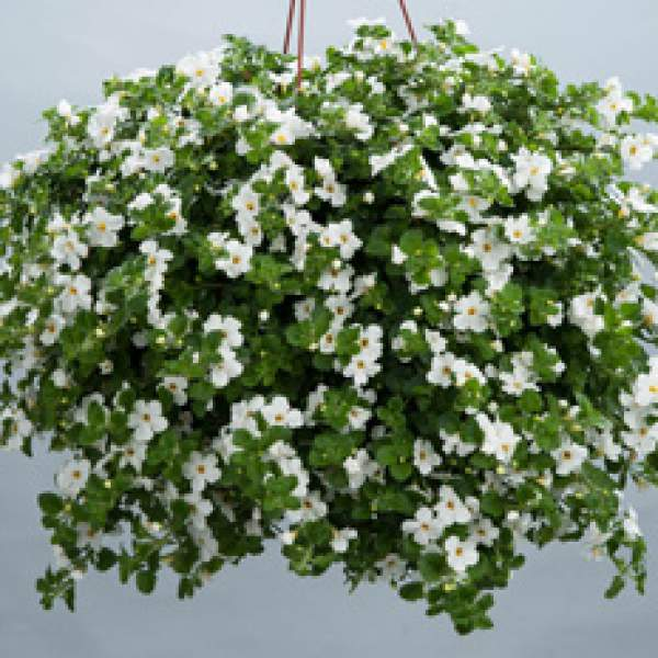 Bacopa Gulliver Basket White - Rooted Cutting Liner
