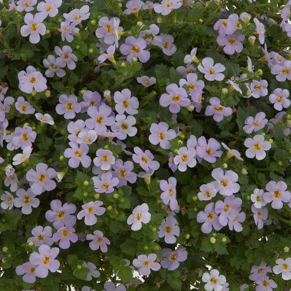 Bacopa Gulliver Blue Sensation - Rooted Cutting Liner