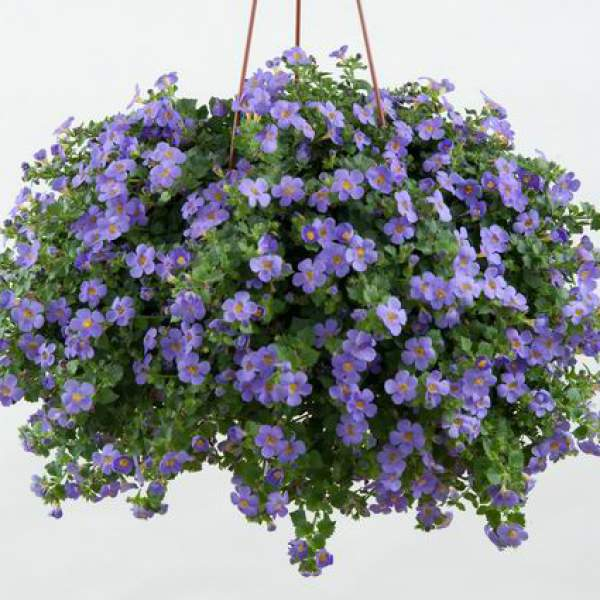Bacopa Gulliver Blue - Rooted Cutting Liner
