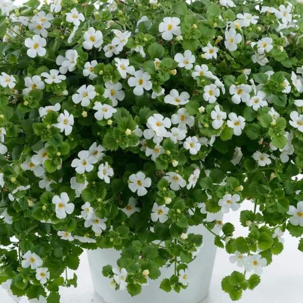 Bacopa Gulliver Dynamic White - Rooted Cutting Liner