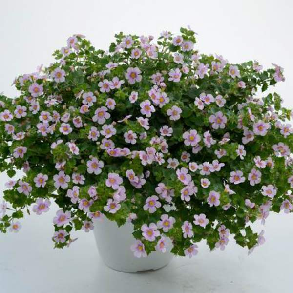 Bacopa Gulliver Pink Heart Improved - Rooted Cutting Liner