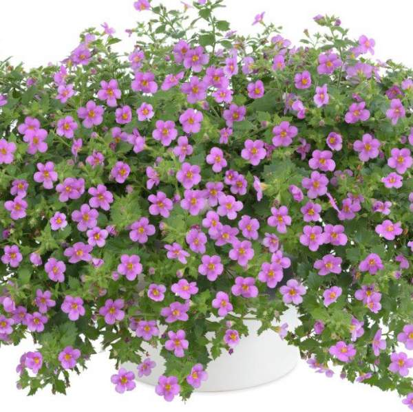 Bacopa Gulliver Pink - Rooted Cutting Liner