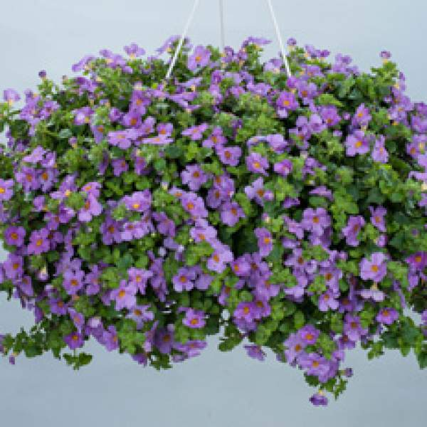 Bacopa Gulliver Violet - Rooted Cutting Liner