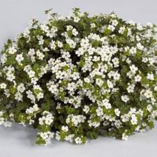 Bacopa Gulliver White - Rooted Cutting Liner