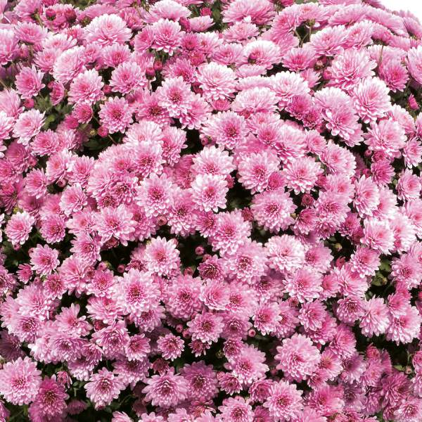Belgian Mum Jasoda Pink - Rooted Cutting Liner
