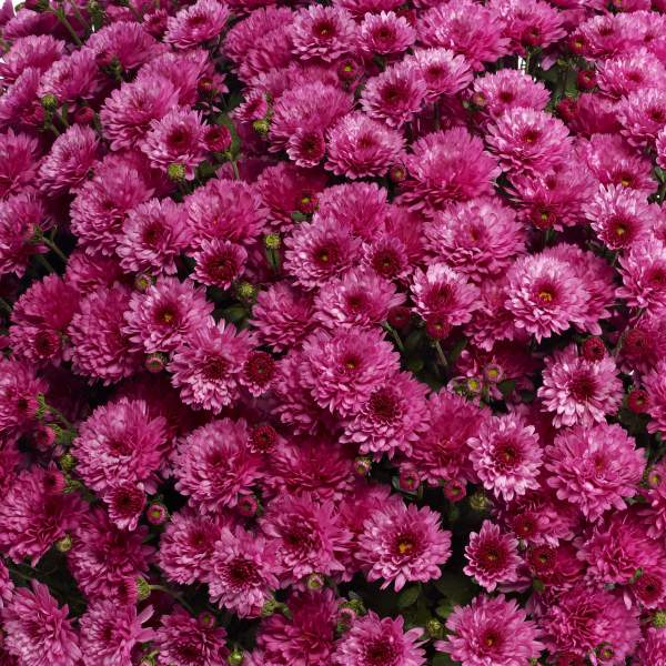 Belgian Mum Livia Pink - Rooted Cutting Liner