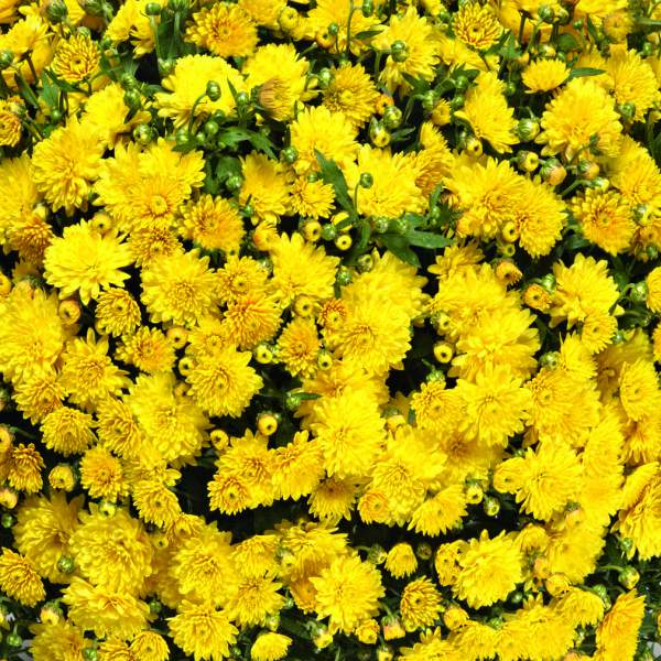 Image Of Belgian Mum Venos Yellow