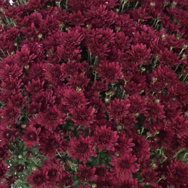 Belgian Mum Zaza Purple - Rooted Cutting Liner
