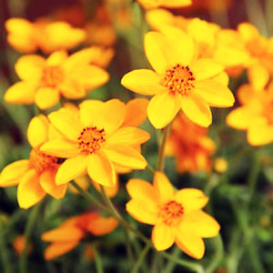 Bidens Gold Jingle - Rooted Cutting Liner