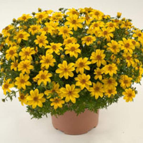 Bidens Yellow Charm - Rooted Cutting Liner
