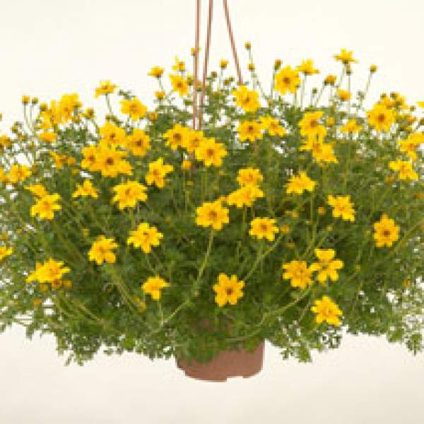 Image Of Bidens Yellow Crown