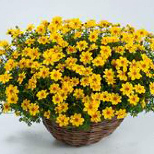 Bidens Yellow Sunshine - Rooted Cutting Liner