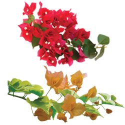 Bougainvillea Assorted - Rooted Cutting Liner