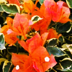 Bougainvillea Bengal Orange - Rooted Cutting Liner