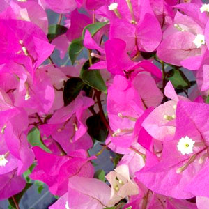 Bougainvillea Imperial Thai Delight - Rooted Cutting Liner
