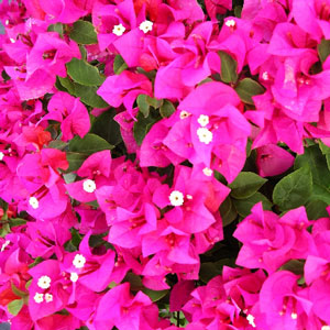 Bougainvillea Juanita Hatten - Rooted Cutting Liner