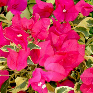 Bougainvillea Raspberry Ice - Rooted Cutting Liner
