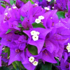 Bougainvillea Royal Purple - Rooted Cutting Liner