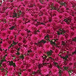 Image Of Belgian Mum Coparo Purple