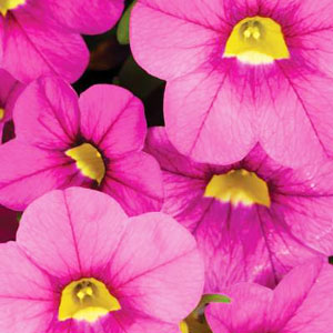 Calibrachoa Early Bird Pink - Rooted Cutting Liner