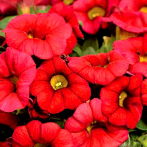 Calibrachoa Early Bird Red - Rooted Cutting Liner