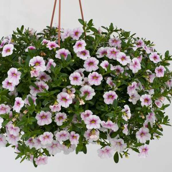 Calibrachoa Noa Almond Blossom - Rooted Cutting Liner