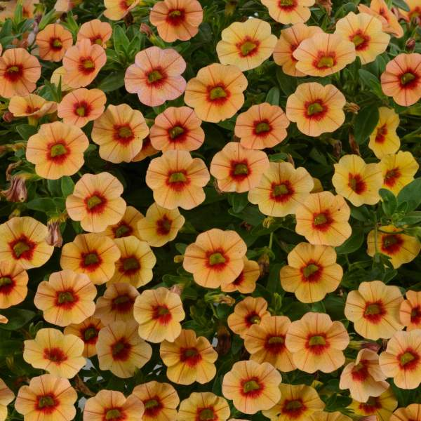 Calibrachoa Noa Apricot - Rooted Cutting Liner