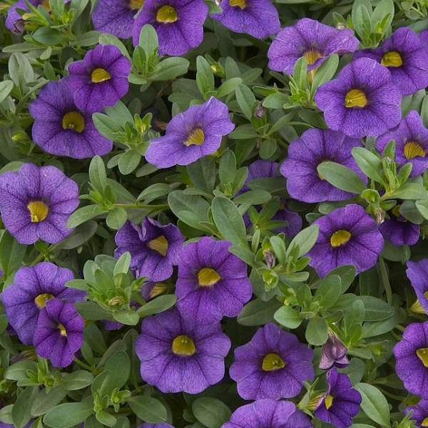 Image Of Calibrachoa Noa Blue Legend