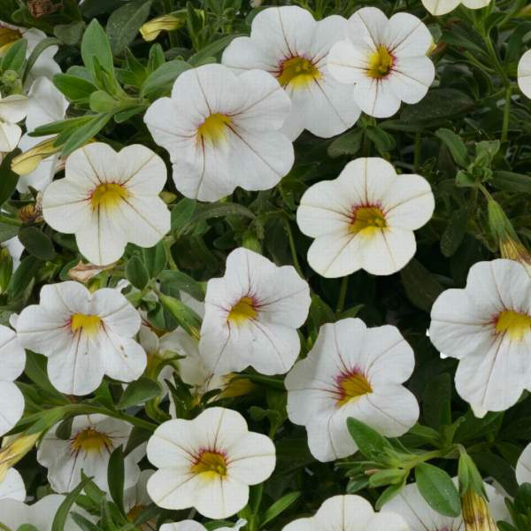 Image Of Calibrachoa Noa Cherry Blossom