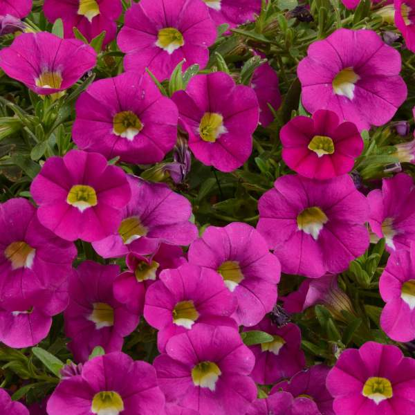 Calibrachoa Noa Dark Pink Carnival - Rooted Cutting Liner