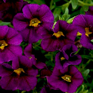 Calibrachoa Noa Dark Purple