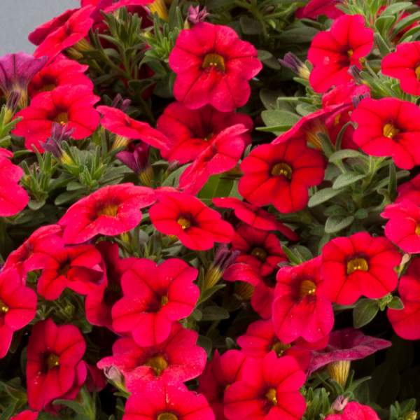 Calibrachoa Noa Dark Red - Rooted Cutting Liner