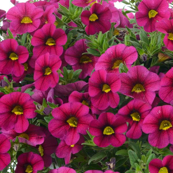 Calibrachoa Noa Happy Pink - Rooted Cutting Liner