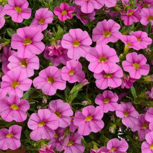 Calibrachoa Noa Mega Pink - Rooted Cutting Liner