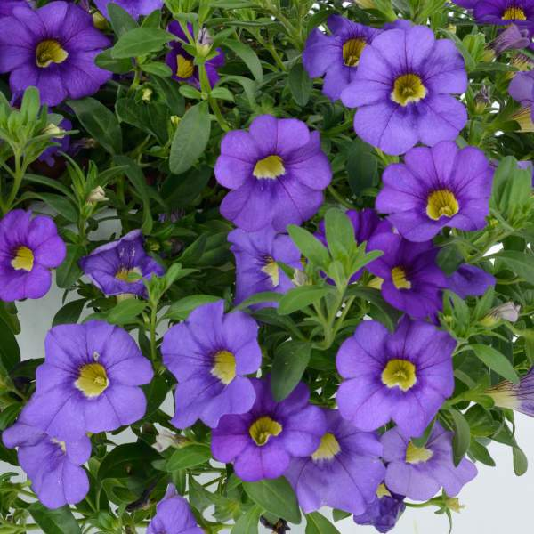 Calibrachoa Noa Mega Violet - Rooted Cutting Liner